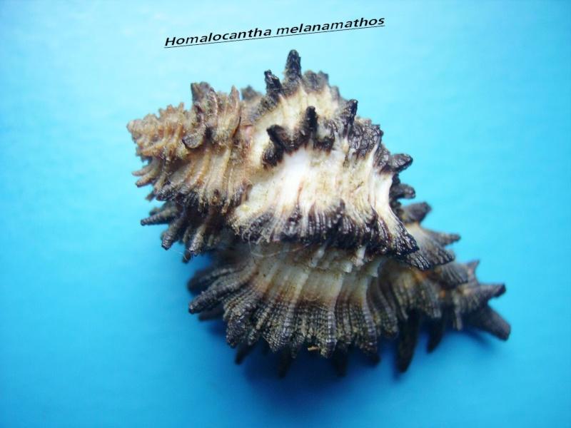 Homalocantha melanamathos - (Gmelin, 1791) Malana13
