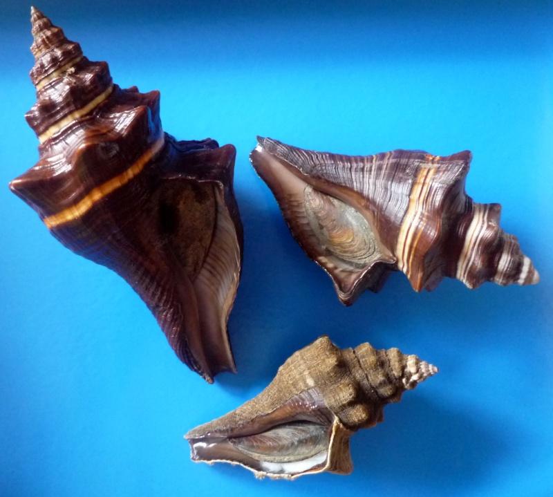 Pugilina morio - (Linnaeus, 1758) & Pugilina tupiniquim - Abbate et Simone, 2015 / Note répartition géographique Morio_14