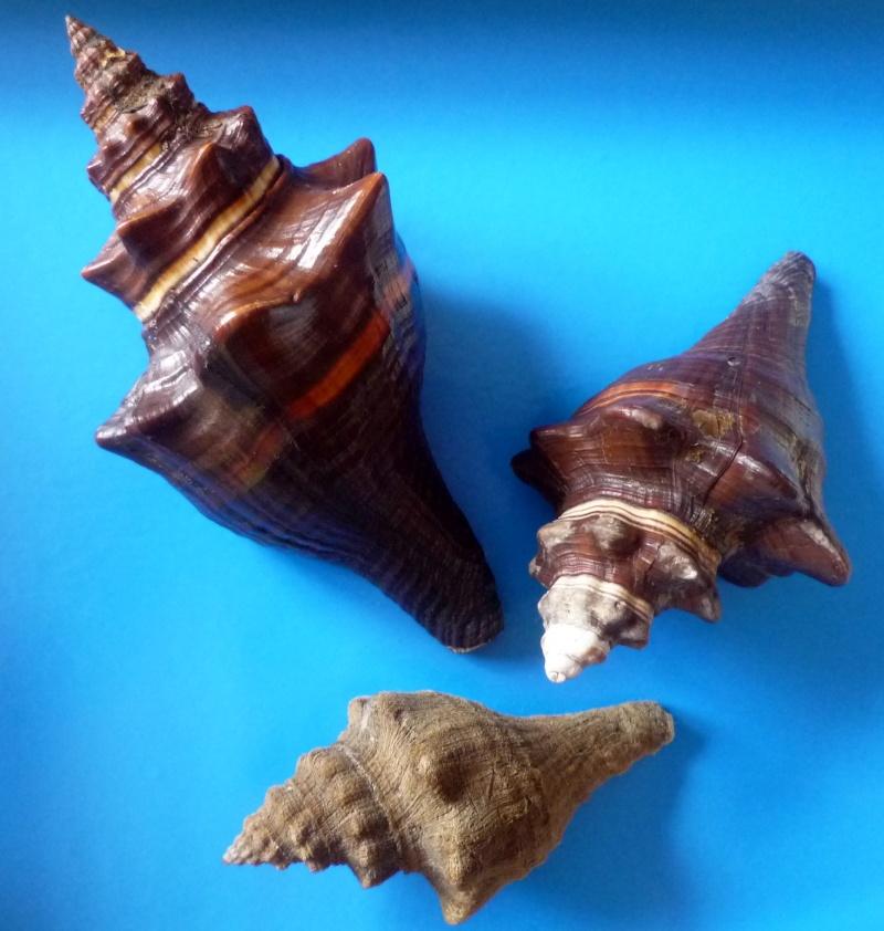 Pugilina morio - (Linnaeus, 1758) & Pugilina tupiniquim - Abbate et Simone, 2015 / Note répartition géographique Morio_15