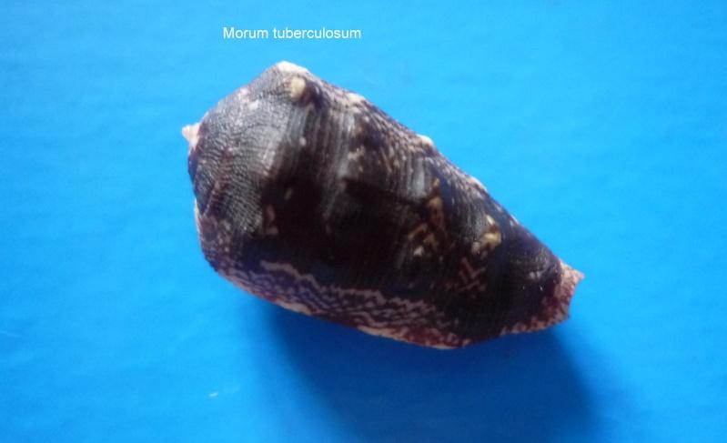 Morum tuberculosum - (Reeve, 1842) Morum_32