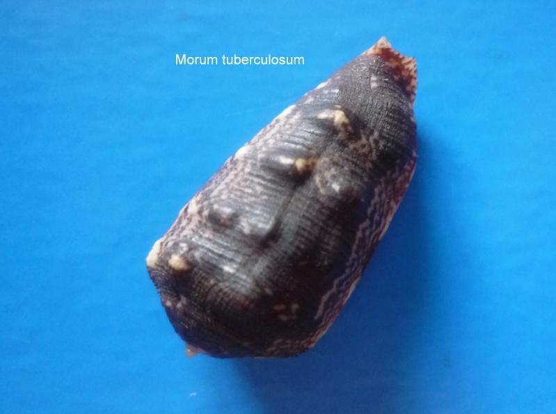 Morum tuberculosum - (Reeve, 1842) Morum_33