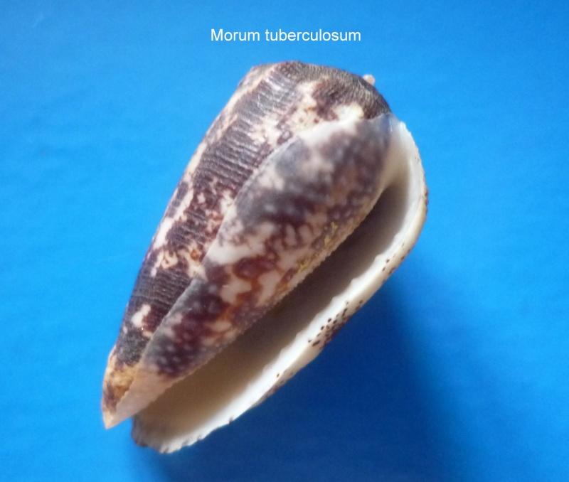 Morum tuberculosum - (Reeve, 1842) Morum_35