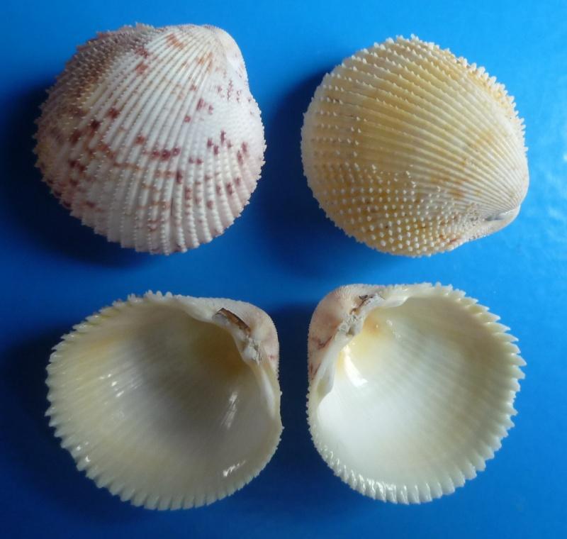 Dallocardia muricata - (Linnaeus, 1758)  Murica11