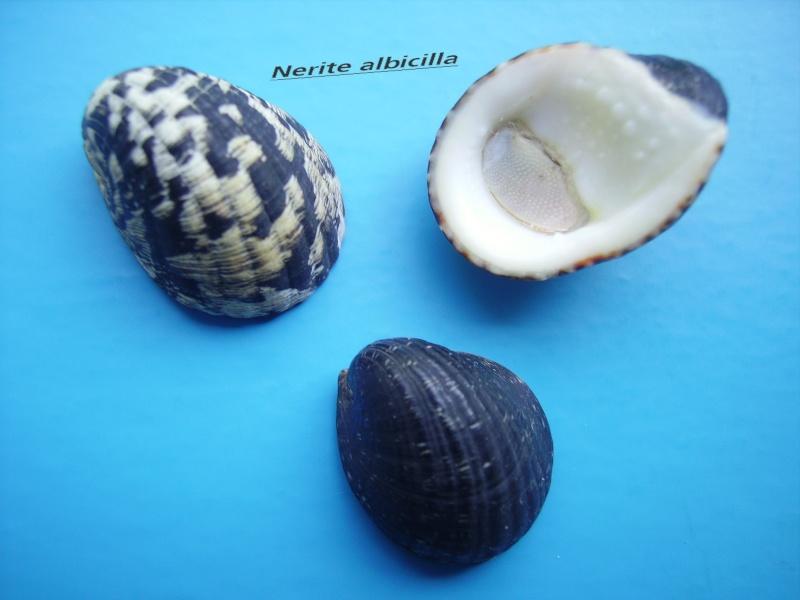 Nerita albicilla - Linnaeus, 1758 Narite10