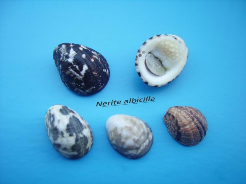 Nerita albicilla - Linnaeus, 1758 Narite11