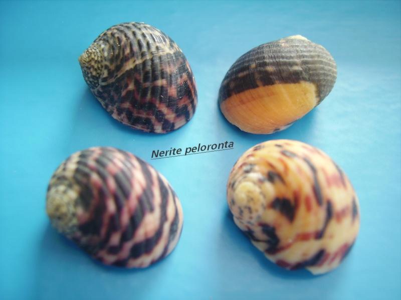 Nerita peloronta - Linnaeus, 1758 Narite13