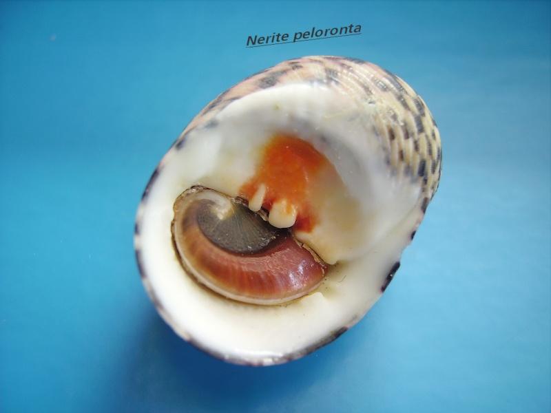 Nerita peloronta - Linnaeus, 1758 Narite14