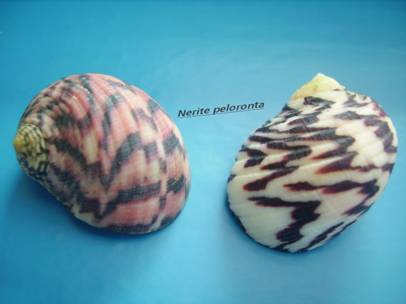 Nerita peloronta - Linnaeus, 1758 Narite15