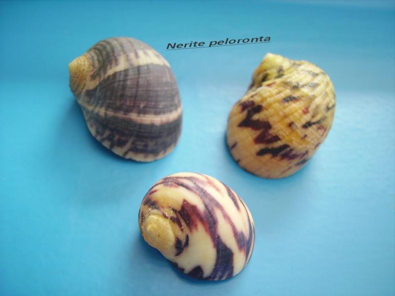 Nerita peloronta - Linnaeus, 1758 Narite16