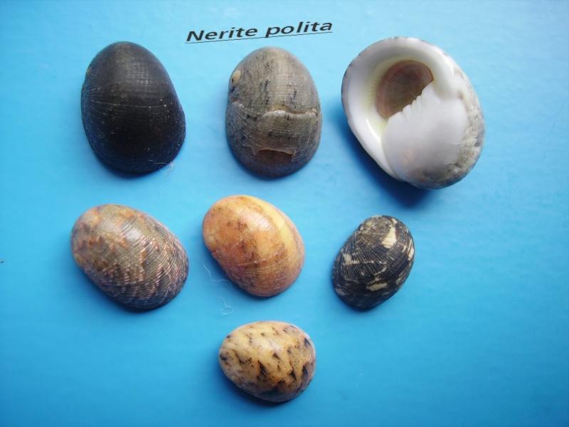Nerita polita - Linnaeus, 1758 Narite21