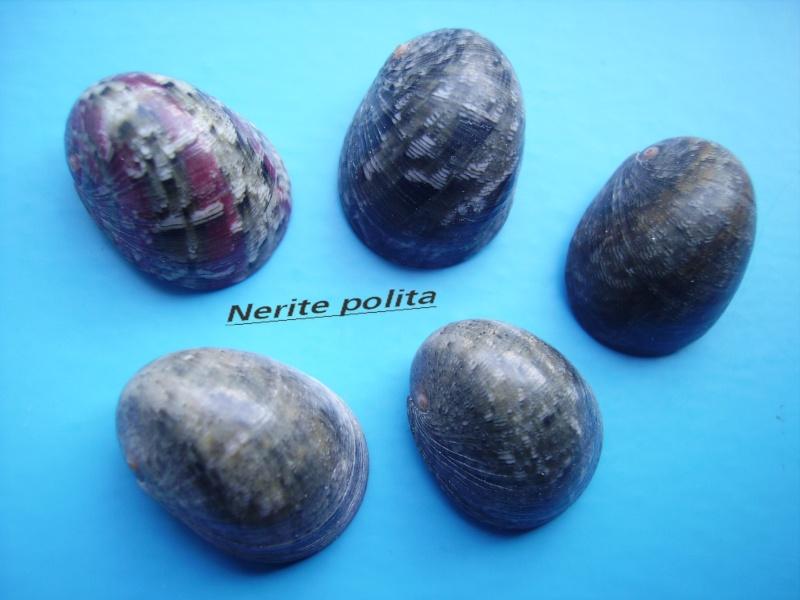 Nerita polita - Linnaeus, 1758 Narite22