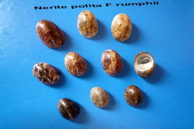 Nerita polita - Linnaeus, 1758 Narite24