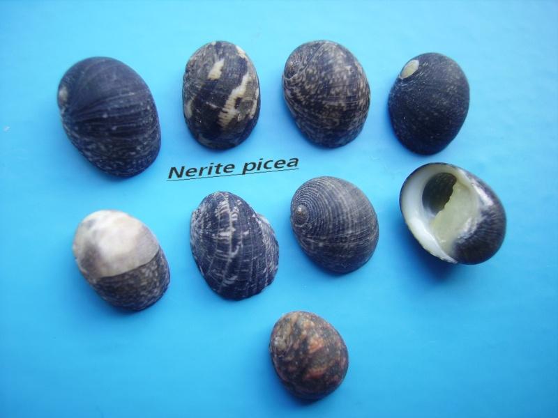 Nerita picea - Récluz, 1841 Narite29