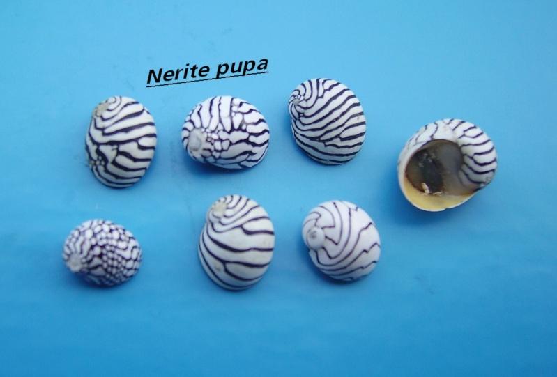 Puperita pupa - (Linnaeus, 1767) Narite33