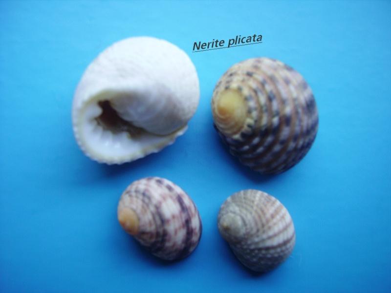 Nerita plicata ( Linnaeus, 1758 )    Narite44