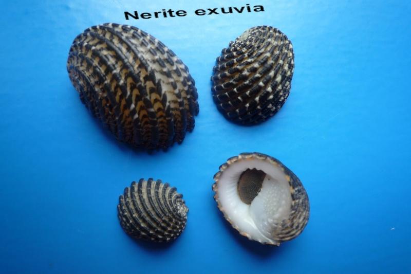 Nerita exuvia - Linnaeus, 1758 Narite46