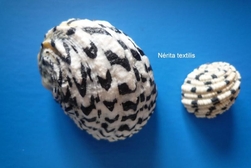 Nerita textilis - Gmelin, 1791 Narite47
