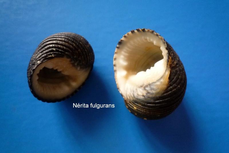 Nerita fulgurans - Gmelin, 1791 Narite56