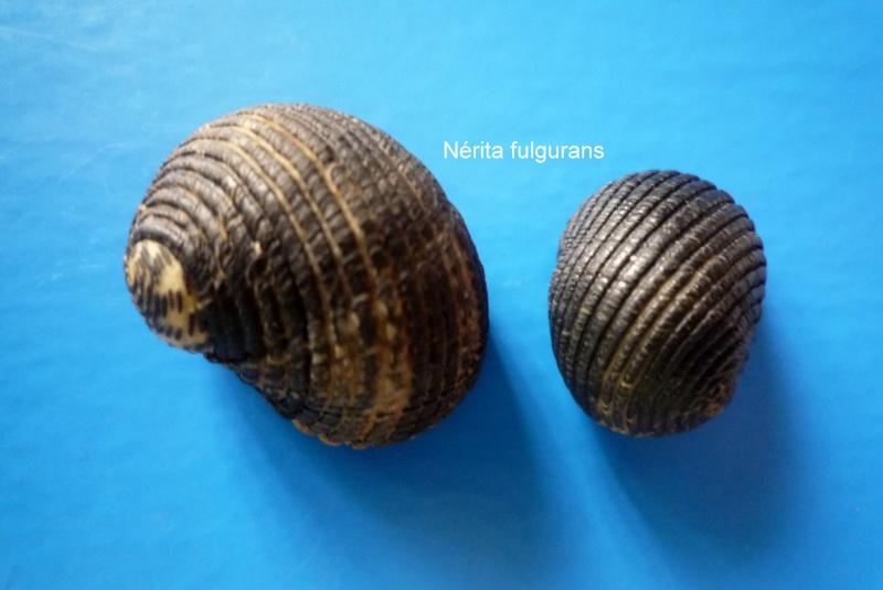 Nerita fulgurans - Gmelin, 1791 Narite57