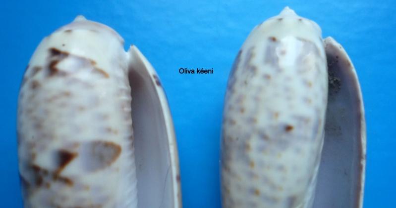 Miniaceoliva irisans irisans (Lamarck, 1811) Oliva100