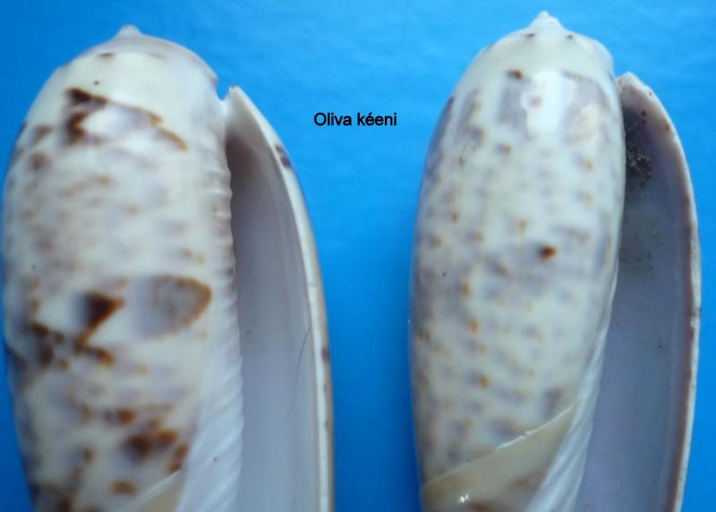 Miniaceoliva irisans irisans (Lamarck, 1811) Oliva101