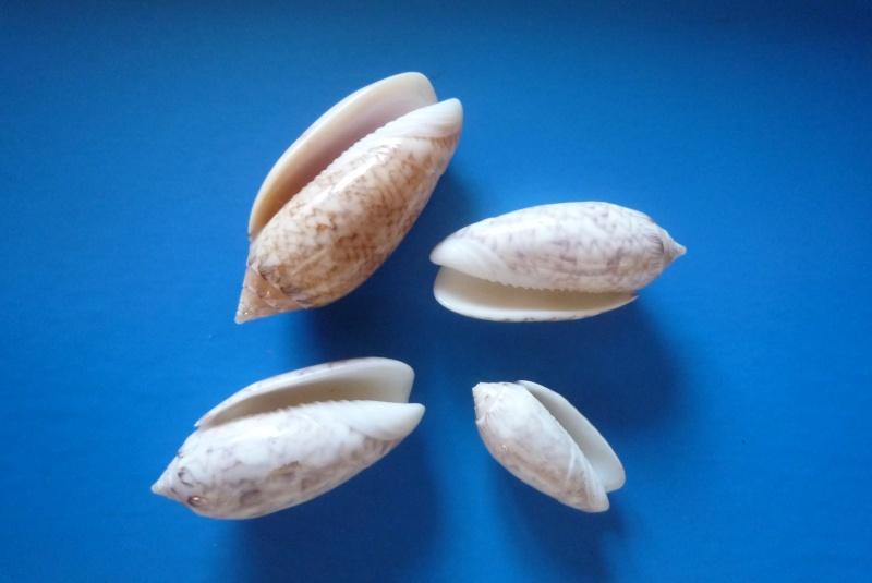 Americoliva reticularis reticularis (Lamarck, 1811) Oliva126
