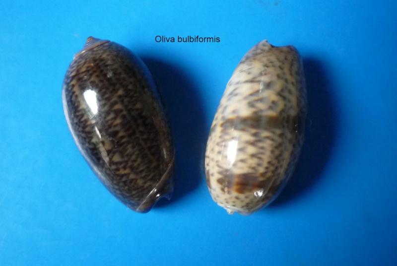 Carmione bulbiformis (Duclos, 1840) - Worms = Oliva bulbiformis Duclos, 1840 Oliva163