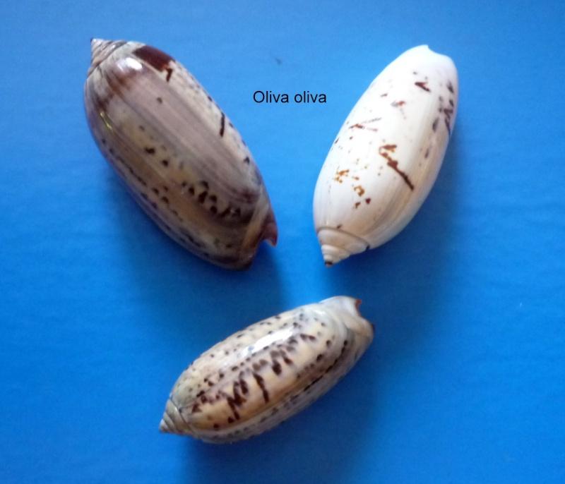 Oliva oliva (Linnaeus, 1758) Oliva171