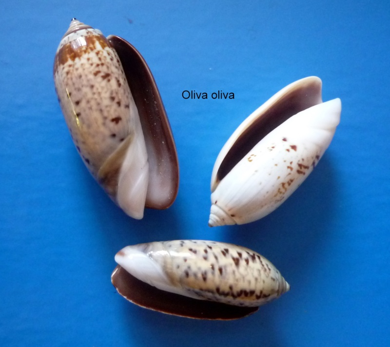 Oliva oliva (Linnaeus, 1758) Oliva172
