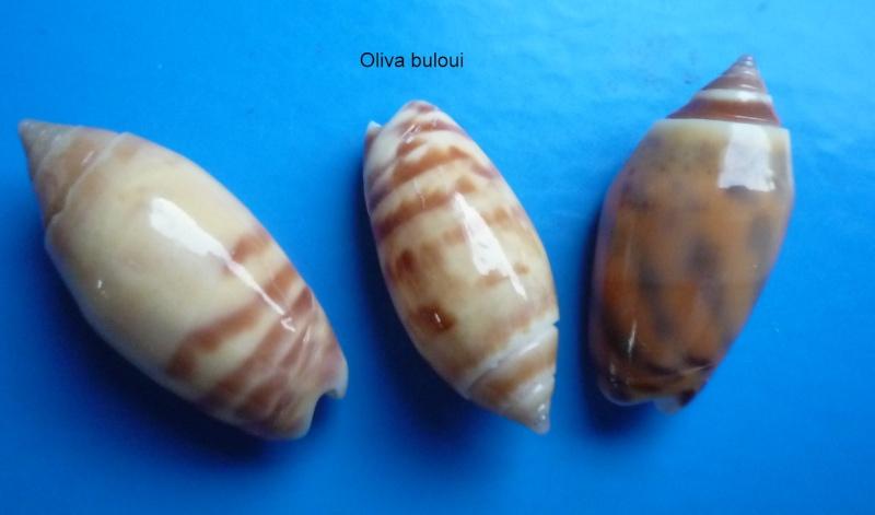Annulatoliva buelowi buelowi (Sowerby, 1890) Oliva186