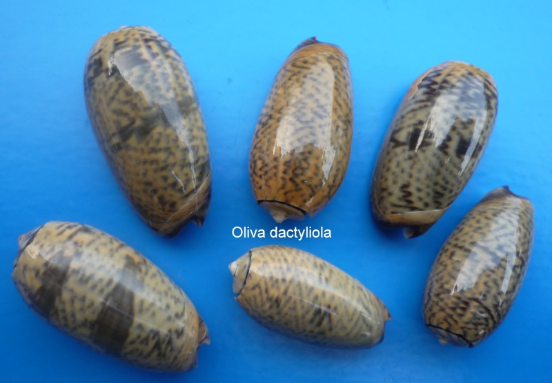 Carmione dactyliola (Duclos, 1835) Oliva207
