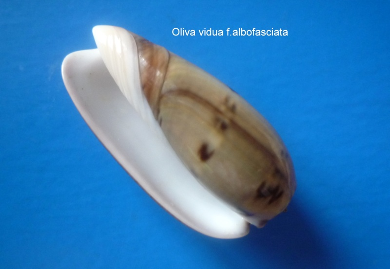 Viduoliva vidua f. albofasciata (Dautzenberg, 1927) Oliva_17