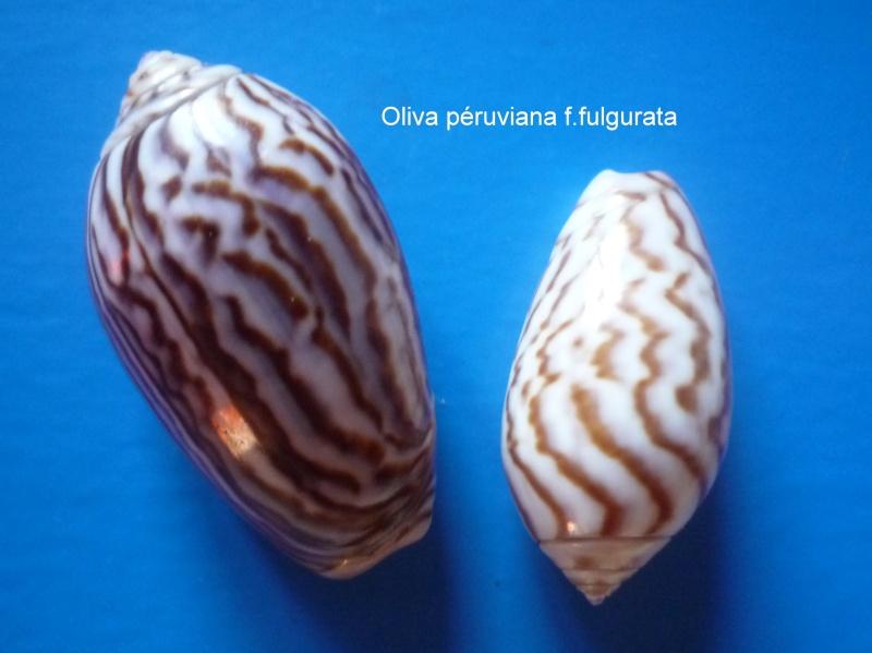 Americoliva peruviana f. fulgurata ((Von Martens, 1869) accepted as Americoliva peruviana (Lamarck, 1811)  Oliva_58