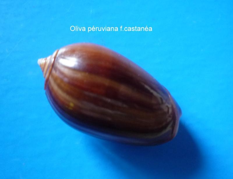 Americoliva peruviana f. castanea (Johnson, 1911) accepted as Americoliva peruviana (Lamarck, 1811)  Oliva_61