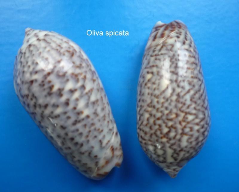 Americoliva spicata spicata (Röding, 1798) - Worms = Oliva spicata (Röding, 1798) Oliva_67
