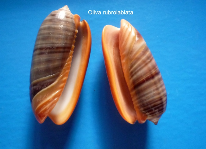 Viduoliva rubrolabiata (Fischer, 1903) Oliva_74