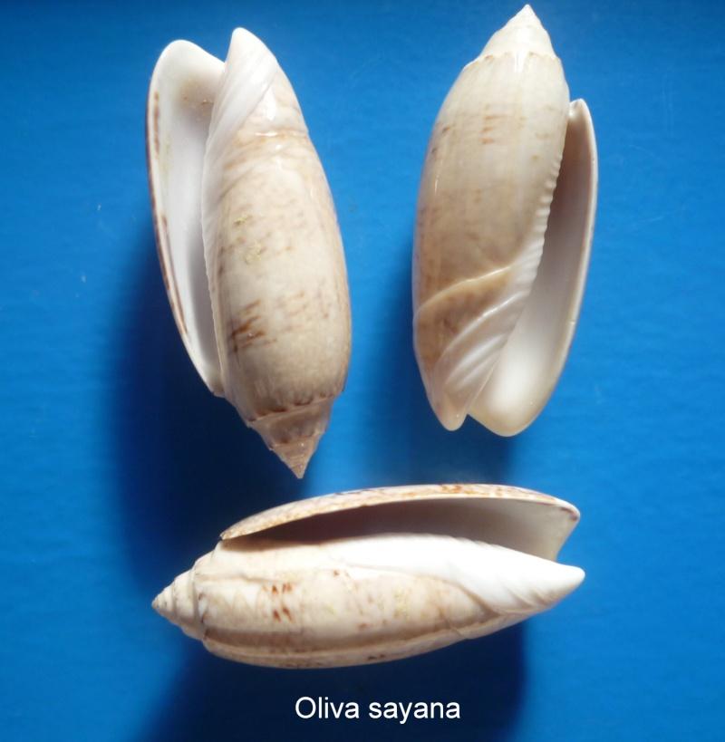 Americoliva sayana sayana (Ravenel, 1834) Oliva_80