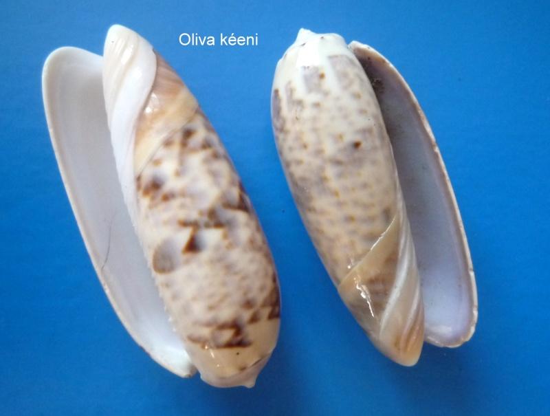 Miniaceoliva irisans irisans (Lamarck, 1811) Oliva_96