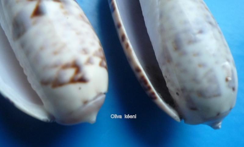 Miniaceoliva irisans irisans (Lamarck, 1811) Oliva_99