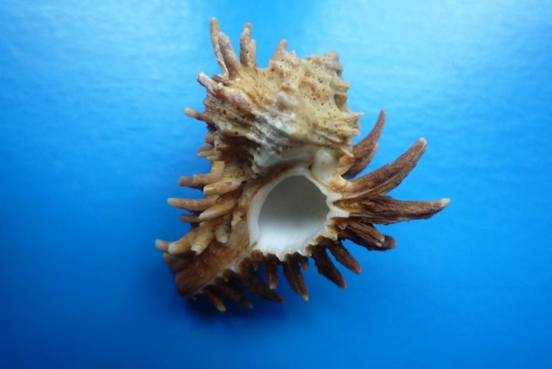 Homalocantha oxyacantha - (Broderip, 1833) Oxycan12