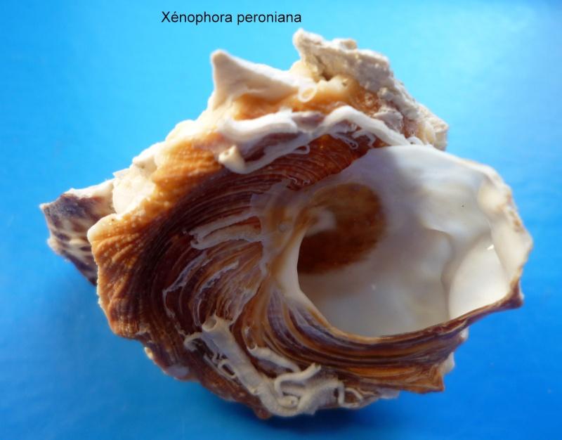 Xenophora peroniana - (Iredale, 1929)  Peroni11