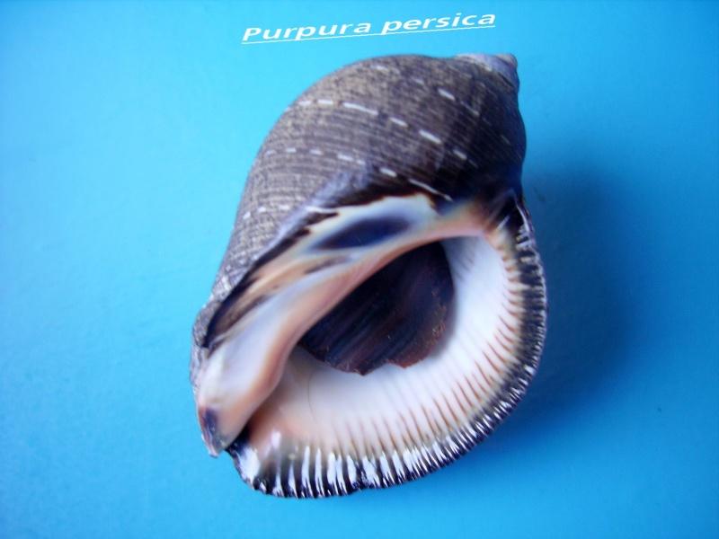 Purpura persica - (Linnaeus, 1758) Persic10