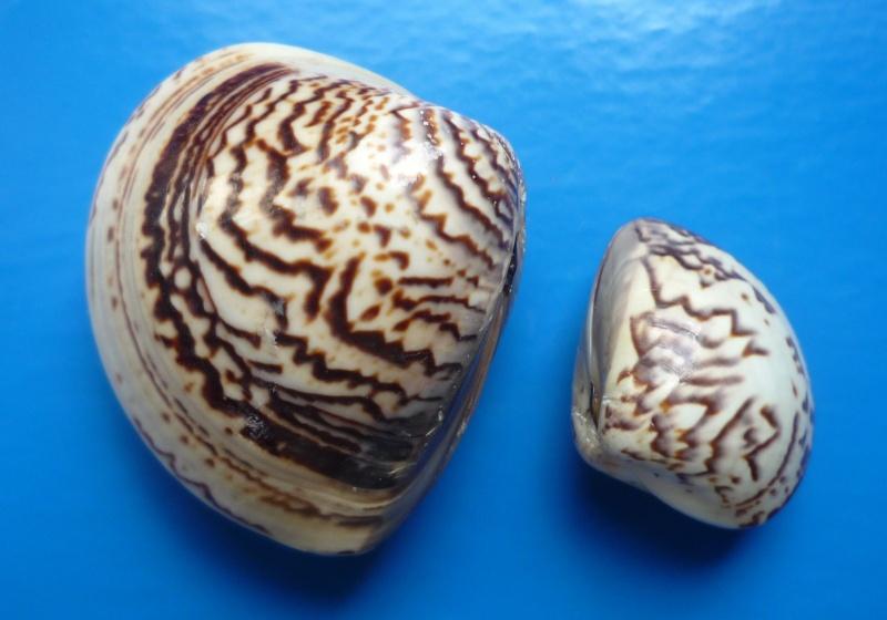 Meretrix petechialis - (Lamarck, 1818) Pethec10
