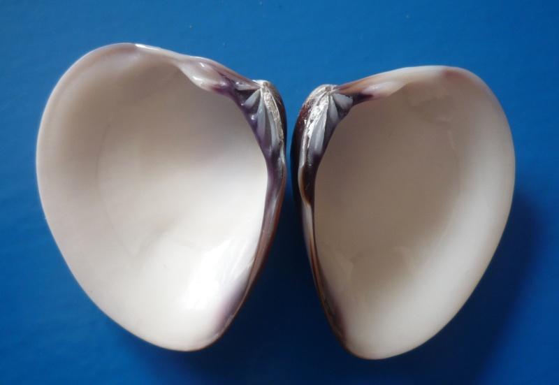Meretrix petechialis - (Lamarck, 1818) Pethec11