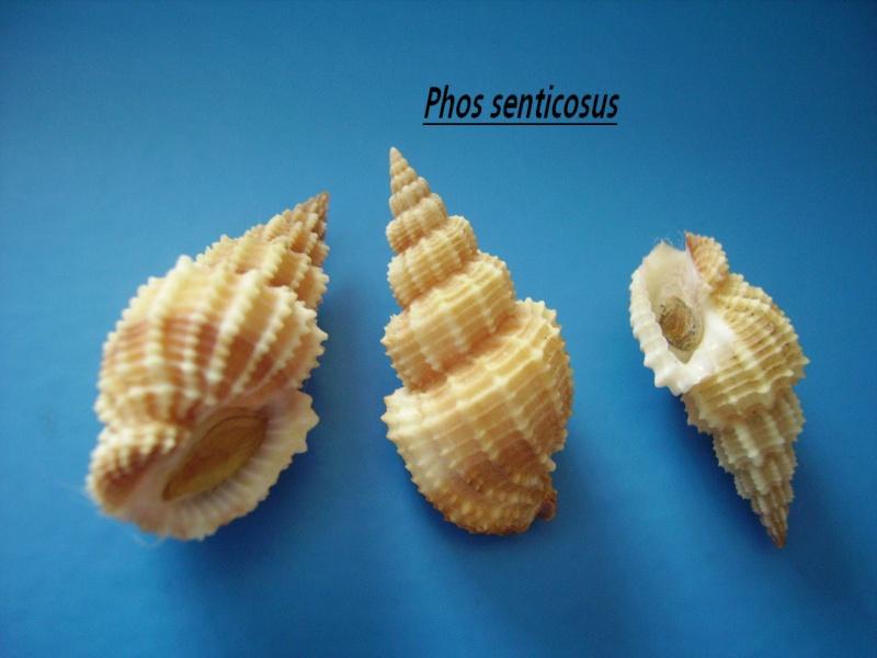 Phos senticosus - (Linnaeus, 1758) Phos_s11
