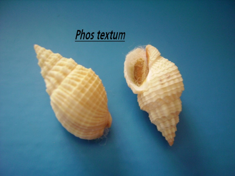 Phos textus - (Gmelin, 1791) Phos_t11