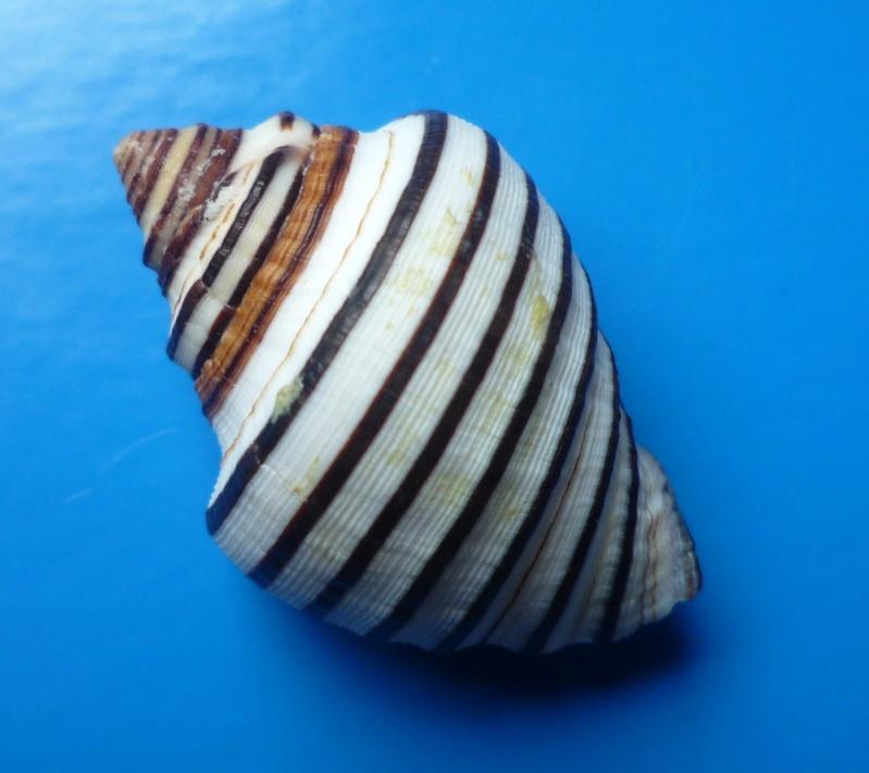 Opeatostoma pseudodon - (Burrow, 1815) Pseudo13