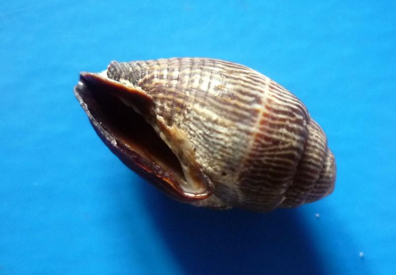Strigatella retusa - (Lamarck, 1811)  Retusa13