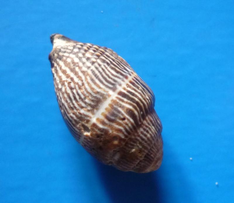 Strigatella retusa - (Lamarck, 1811)  Retusa14