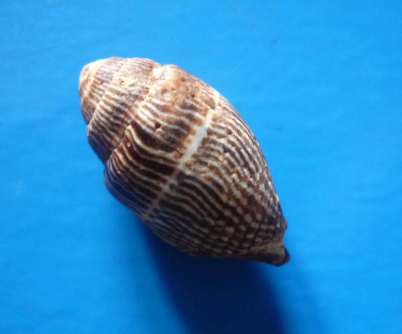 Strigatella retusa - (Lamarck, 1811)  Retusa15